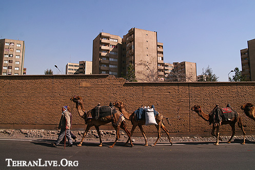 Camels in City