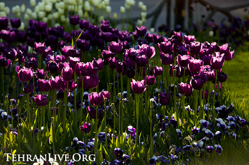 tulips_mellat_park_1