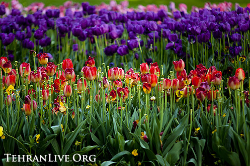 tulips_mellat_park_2