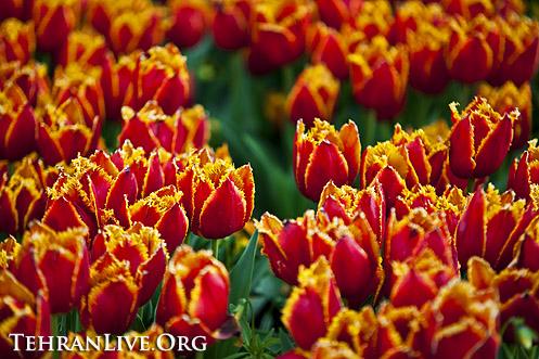 tulips_mellat_park_3