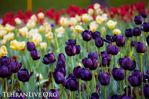 tulips_mellat_park_5