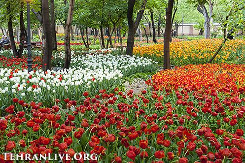 iranian_garden_tulips_1
