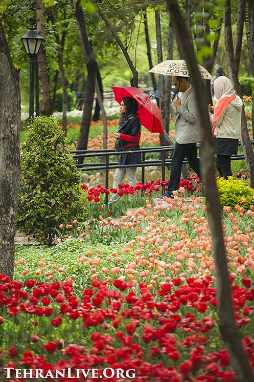 iranian_garden_tulips_5